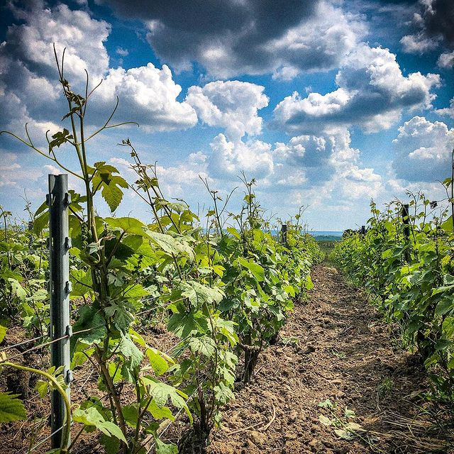 Chartogne-Taillet Tasting: Get to Know An Outstanding & Well-Priced Grower Champagne