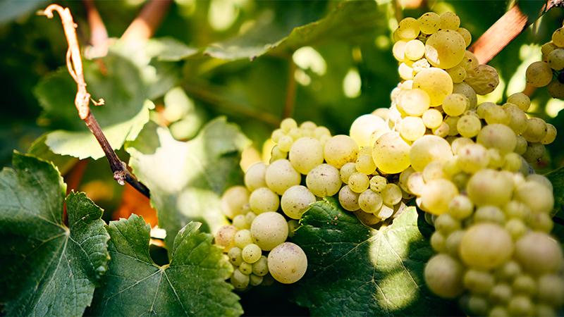 Burgundy 101 Saturday Tasting Series: White Burgundy – Chardonnay At Its Best